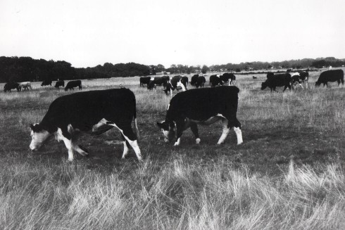 Cows_on_wanstead_flats