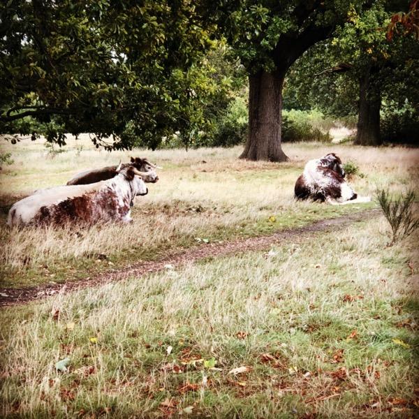 Longhorn cattle in Wanstead Park